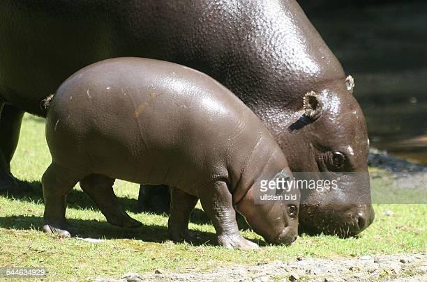pygmy hippopotamus cub Paul with his mother Debby