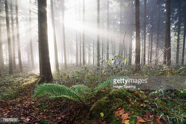 germany, berlingen, fern in misty forest - ラインラント=プファルツ州 ストックフォトと画像