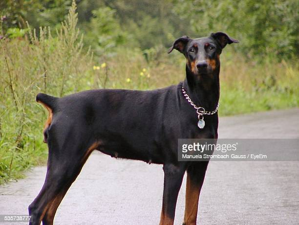 germany, black doberman standing on road and looking at camera - doberman foto e immagini stock