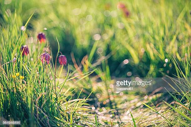 Germany, Brandenburg, Snakes Head Fritillary on a meadow