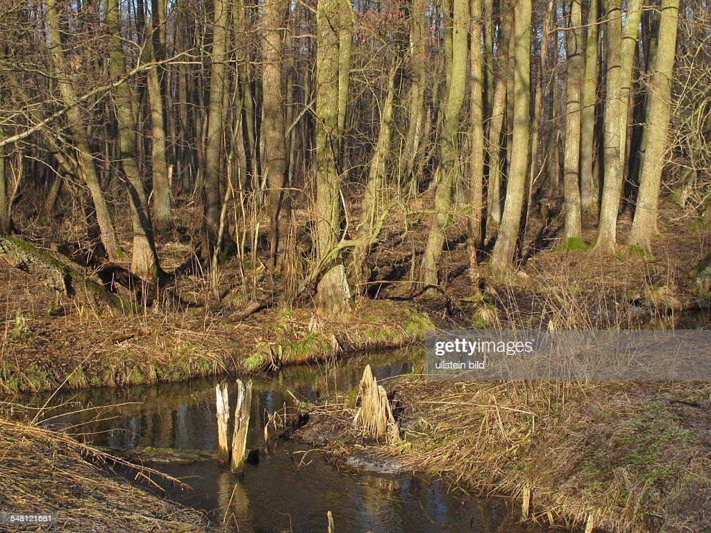 Germany Brandenburg Strausberg - alder brook forrest in winter : News Photo