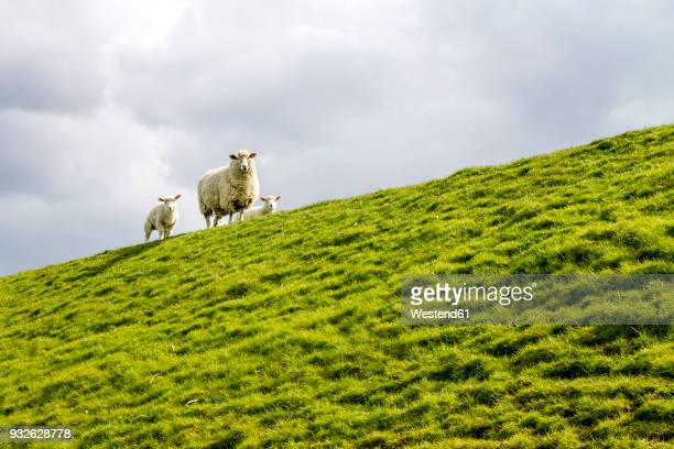 germany, buesum, sheeps on dike - german north sea region stock pictures, royalty-free photos & images