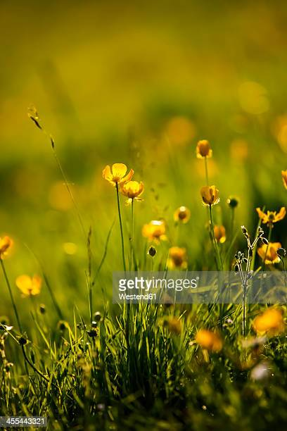 germany, buttercup flower, close up - buttercup stock pictures, royalty-free photos & images