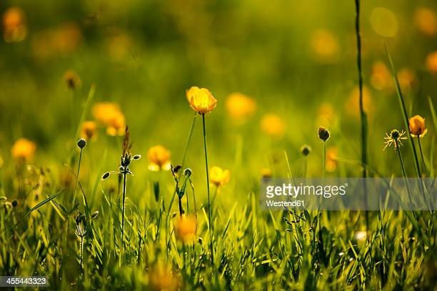 Germany, Buttercup flower, close up