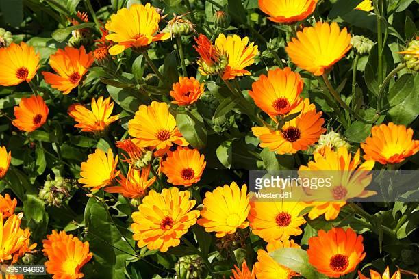 Germany, Calendula flowers