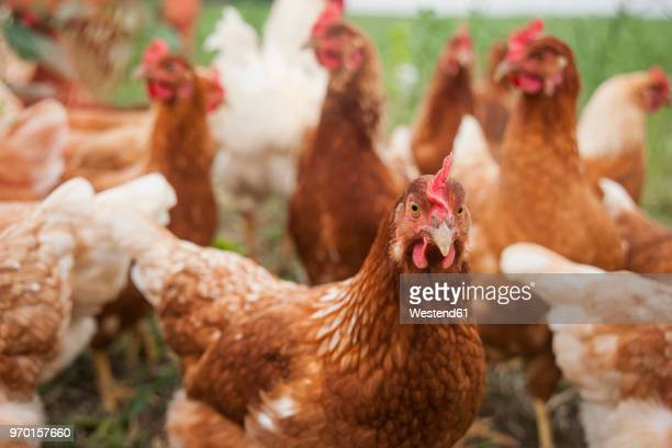 germany, chicken on farm - chicken stock pictures, royalty-free photos & images