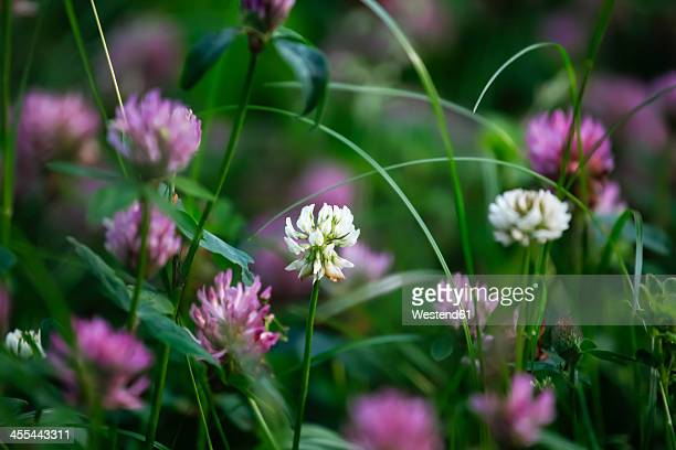 germany, clover flower, close up - clover stock photos and pictures