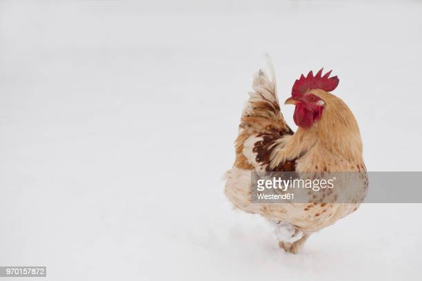 germany, cock on farm in winter - cockerel stock pictures, royalty-free photos & images