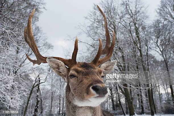 Germany, Cologne, Animal Reserve, Male fallow deer at lindenthaler tierpark