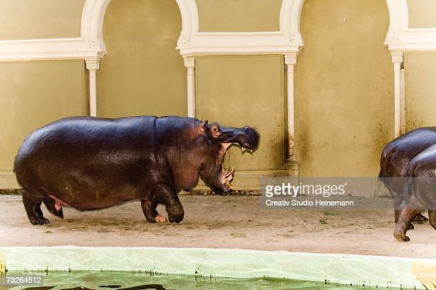 Germany, Cologne, Hippopotamuses in zoo