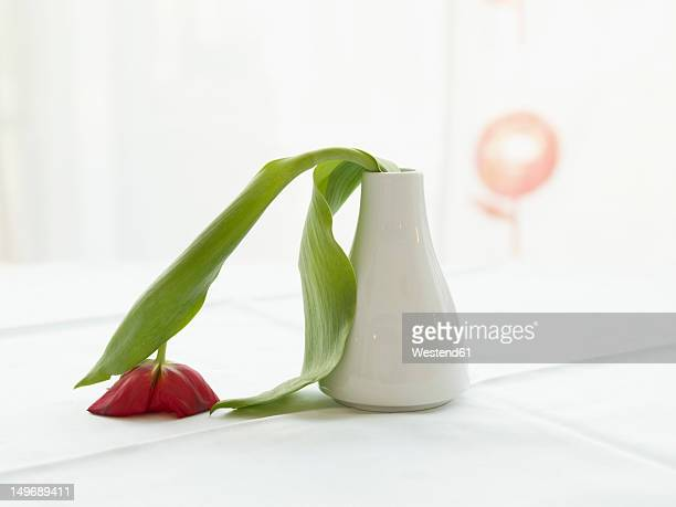 Germany, Cologne, Vase with limp tulip, close up