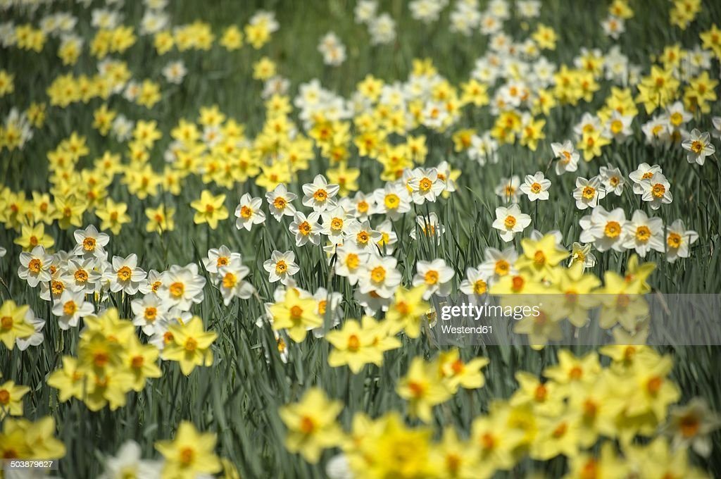 Germany, Constance district, Daffodils, Narcissus, on meadow : Stock Photo