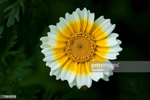 Germany, Crown Daisy flower, close up