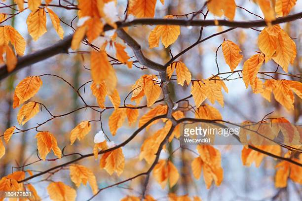 Germany, Dried beech tree in forest during winter