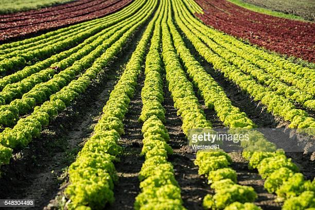 Germany, Duesseldorf, Field with Lolo Rosso lettuce, Lactuca sativa var. crispa