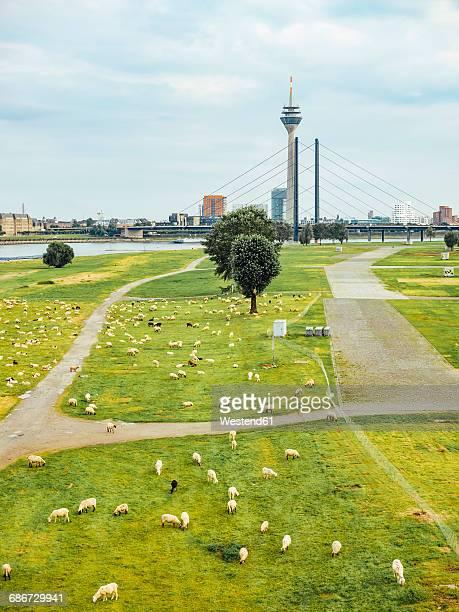 germany, duesseldorf, view to flock of sheep grazing on rheinwiesen and skyling in the background - nordrhein westfalen stock-fotos und bilder