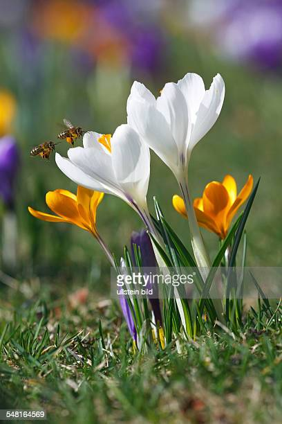 Germany flowering dutch crocuses with flying honey bees