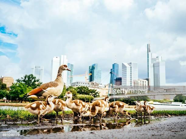 germany, frankfurt, goose family in front of skyline - frankfurt main bildbanksfoton och bilder