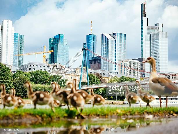 germany, frankfurt, view to skyline with goose family in the foreground - frankfurt main bildbanksfoton och bilder