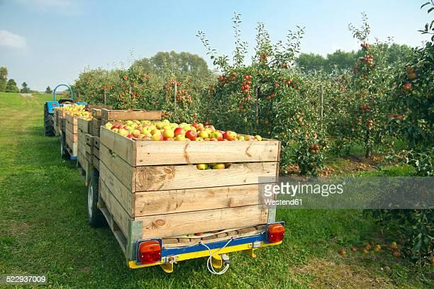 Germany, Hamburg, Altes Land, apple picking