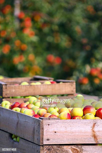 Germany, Hamburg, Altes Land, apple picking, Wooden box with apples