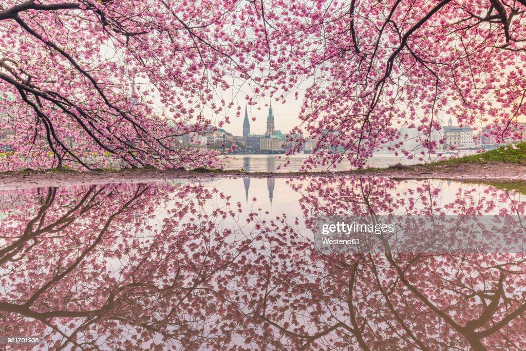 Germany, Hamburg, Germany, Hamburg, blossoming cherry tree at Binnenalster, water reflections of town hall and St. Nicholas' Church : Stock Photo