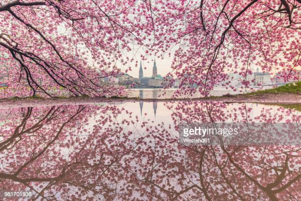 germany, hamburg, germany, hamburg, blossoming cherry tree at binnenalster, water reflections of town hall and st. nicholas' church - hamburg germany stock pictures, royalty-free photos & images