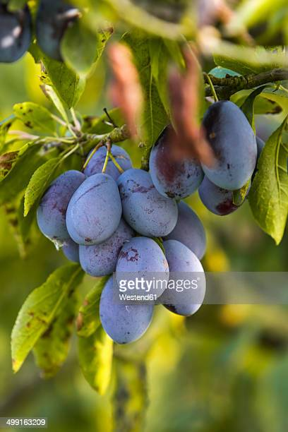 Germany, Hamburg region, Plums on tree