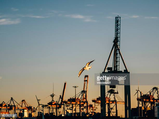 Germany Harbour, Crane facility, flying seagull in the evening