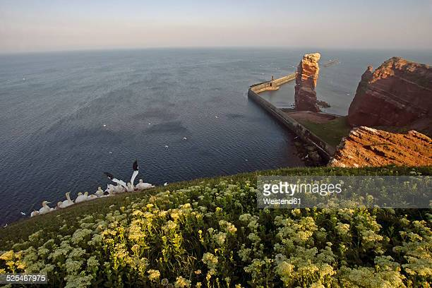 germany, helgoland, colony of northern gannets - helgoland stock pictures, royalty-free photos & images