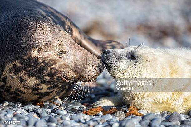 Germany, Helgoland, Duene Island, Grey seal (Halichoerus grypus) and grey seal pup at beach