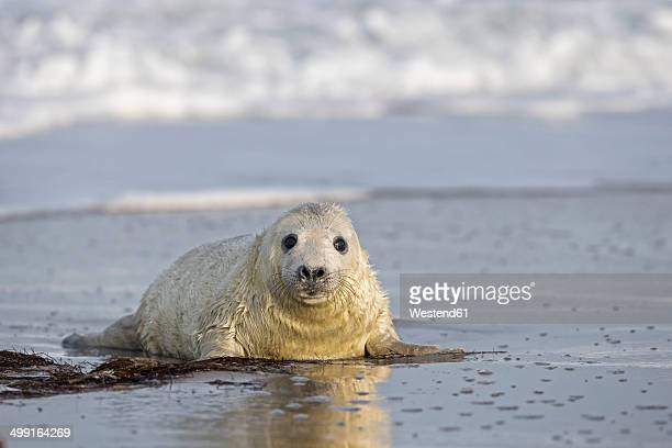 Germany, Helgoland, Duene Island, Grey seal pup (Halichoerus grypus) at beach