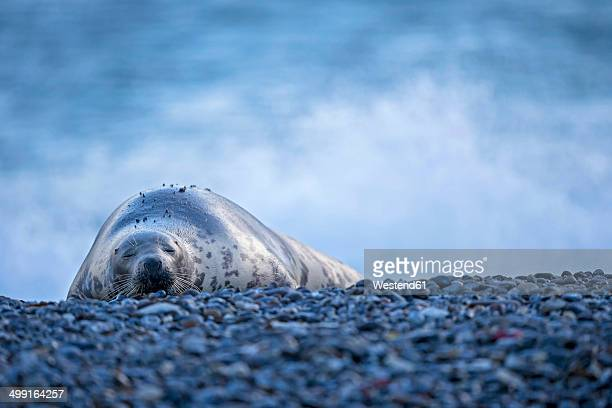 Germany, Helgoland, Duene Island, Grey seal (Halichoerus grypus) sleeping at beach