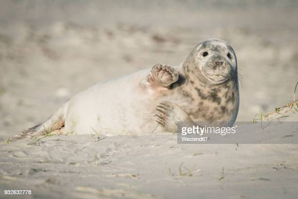 germany, helgoland, grey seal pup lying on the beach - seal animal stock pictures, royalty-free photos & images