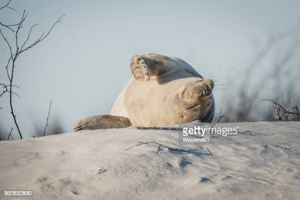 germany, helgoland, grey seal sleeping on dune on the beach - seal animal stock pictures, royalty-free photos & images