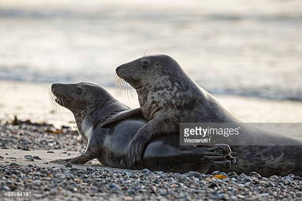 Germany, Helgoland, Grey Seals (Halichoerus grypus) playing
