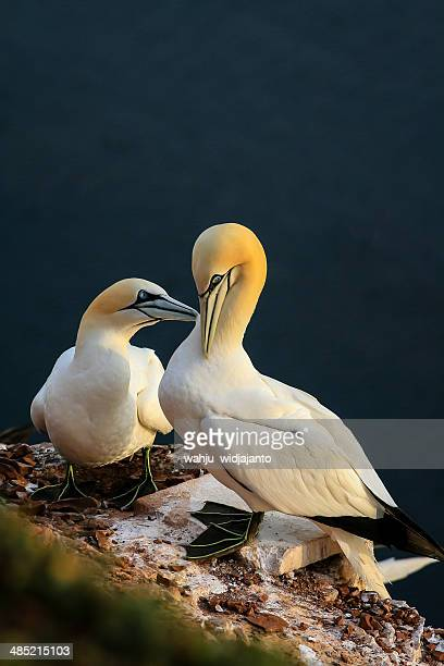 germany, heligoland, two northern gannet (morus bassanus) - gannet stock photos and pictures