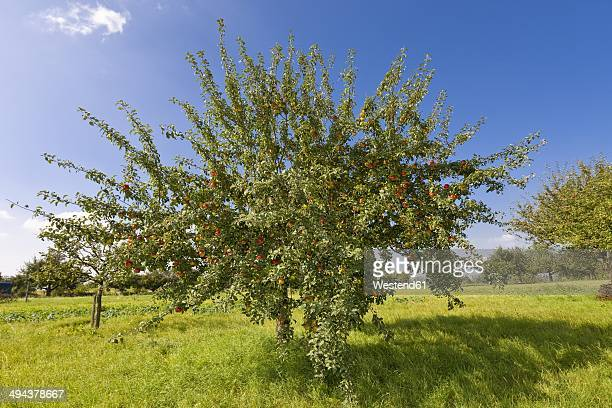 Germany, Hesse, Apple trees in orchard