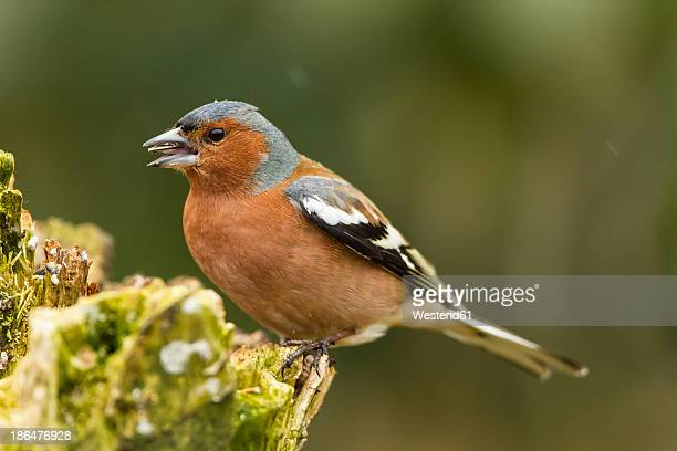 Germany, Hesse, Chaffinch perching on tree trunk