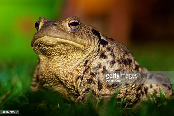 Germany, Hesse, Common toad on grass