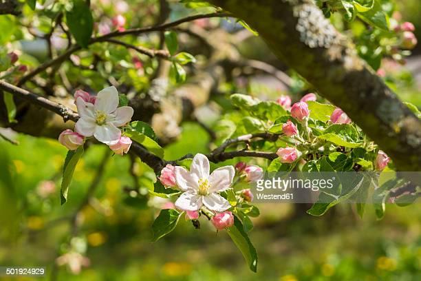 Germany, Hesse, Kronberg, Blossoms of apple tree, Malus domestica
