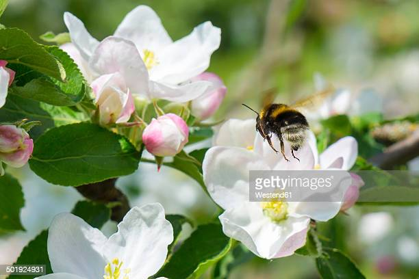 Germany, Hesse, Kronberg, Bumblebee at white blossom of apple tree