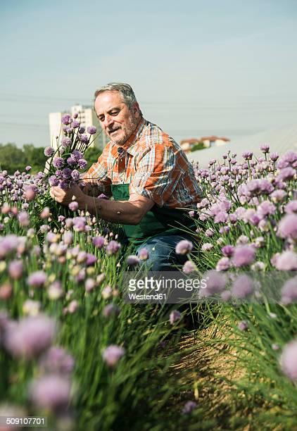 Germany, Hesse, Lampertheim, farmer harvesting chives, Allium schoenoprasum