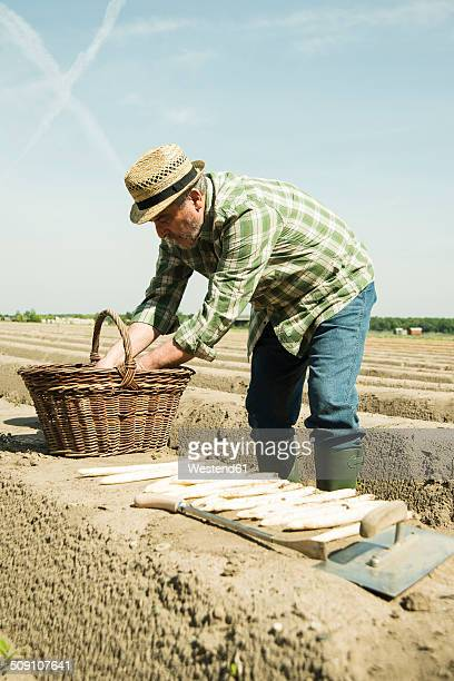 Germany, Hesse, Lampertheim, senior farmer cutting asparagus, Asparagus officinalis