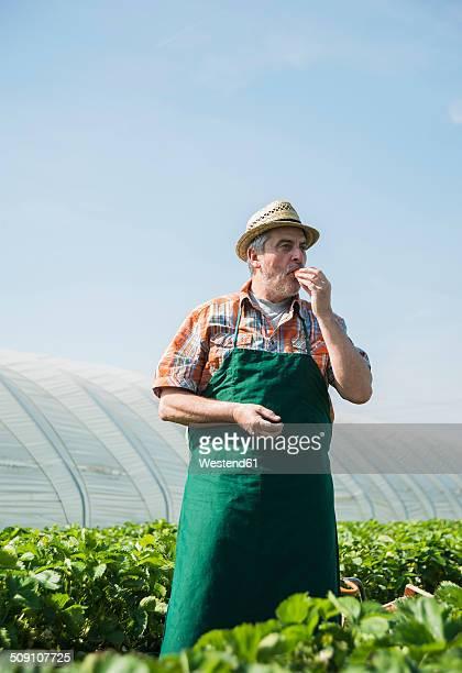 germany, hesse, lampertheim, senior farmer tasting strawberry - hessen deutschland stock-fotos und bilder