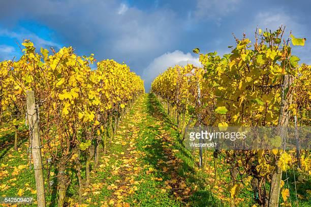 Germany, Hesse, Vinyards in autumn