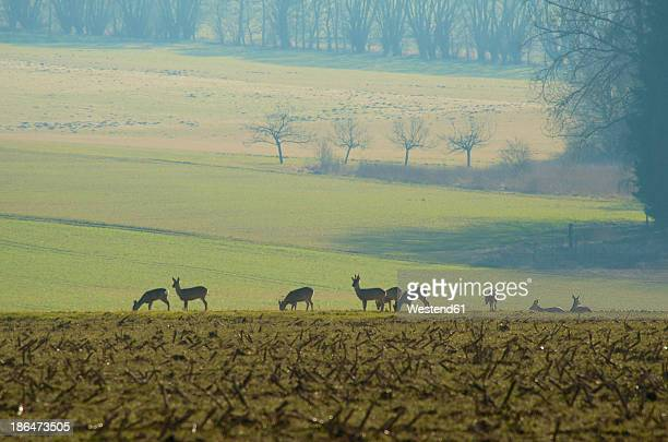 Germany, Hessen, Roe deer grazing