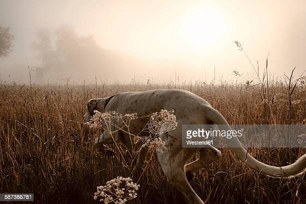 Germany, Hound dog hunting in morning light