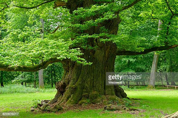 germany, ivenack, ivenacker eichen, very old pedunculate oak - oak tree stock pictures, royalty-free photos & images