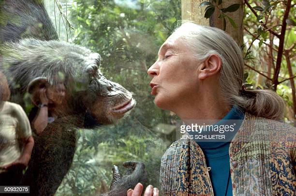 Jane Goodall the world's foremost authority on chimpanzees communicates with chimpanzee Nana 06 June 2004 at the zoo of Magdeburg The British...